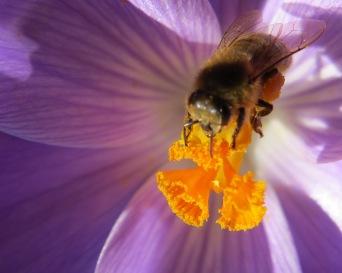 Krokus und Biene II