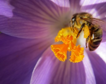 Krokus und Biene III